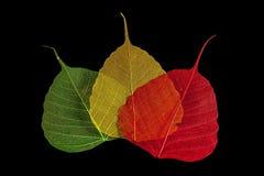 Three skeleton leaf royalty free stock photo