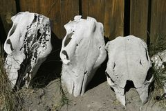 Three skulls. Were lined up against a cabin. These were discovered on a ranch in Oregon stock image