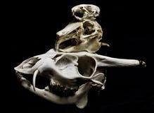 Three Skulls on Black Background Stock Photography