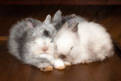 Three sleeping fluffy white and gray rabbits. stock photo