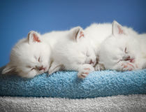 Three sleeping kittens on towel royalty free stock image