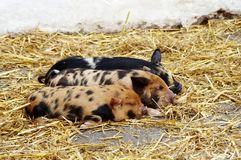 Three sleeping piglets. On straw stock photography