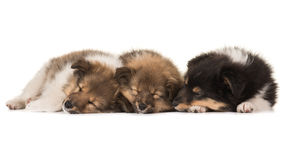 Three sleeping puppies Stock Photo