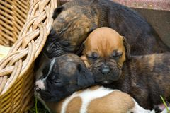 Sleeping puppies next to a wicker basket royalty free stock photos