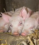 Three Sleepy Piglets. Portrait of small 1 week old piglets in straw on a biological farm Royalty Free Stock Photo