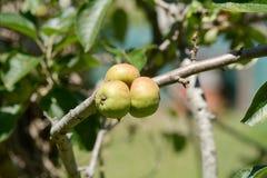 Three small apples growing on tree Stock Photo