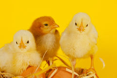 Three small baby chicken with eggs Stock Photo
