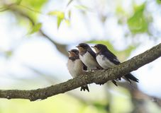 Free Three Small Baby Swallows Sitting On A Branch Clinging To Each Stock Image - 123336521