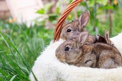 Three small and beautiful bunnies stock photo