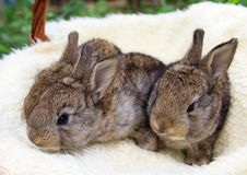 Three small and beautiful bunnies royalty free stock photography