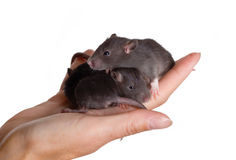 Three small black infant rats Stock Photos