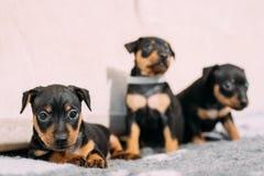 Three Small Black Miniature Pinscher Zwergpinscher, Min Pin Puppy Dogs. Sitting On Floor Stock Image