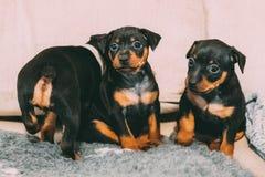 Three Small Black Miniature Pinscher Zwergpinscher, Min Pin Puppy. Dogs Sitting On Floor Royalty Free Stock Images