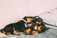 Three Small Black Miniature Pinscher Zwergpinscher, Min Pin Puppy. Dogs Sleeping On Floor Royalty Free Stock Image