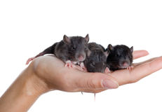 Three small black rats Stock Photography