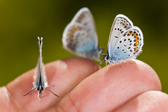 Three small butterflies Stock Photography