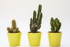 Three small cacti in isolated white background Stock Photo