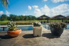 Three small Cactus in a pot royalty free stock photos