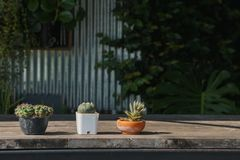 Three small Cactus in a pot royalty free stock image