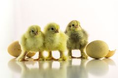 Three small chicken on a white background among shells from eggs stock photo