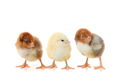 Three small chickens Royalty Free Stock Photography