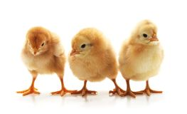 Three small chickens. On white background stock images