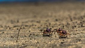 Three small crabs walk at beach sand stock images