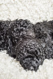 Three small curly black poodle puppies sleeping Stock Images