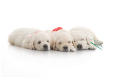 Three small cute dog puppy Stock Photos