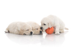 Three small cute dog puppy Stock Image