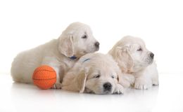 Three small cute dog puppy Royalty Free Stock Images