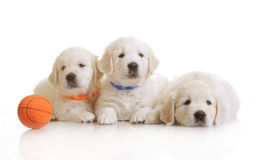 Three small cute dog puppy Royalty Free Stock Image