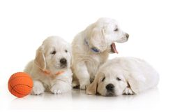 Three small cute dog puppy Stock Images