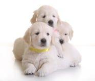 Three small cute dog puppy Stock Photo