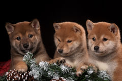 Three small and cute puppy in Christmas Studio Royalty Free Stock Photos