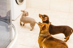 Three funny little miniature purebreed dogs. Three small dogs joyfully looking at owner. Miniature purebreed puppies in bathroom stock images