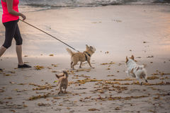 Three small dogs running and playing with person walking on beach Stock Image