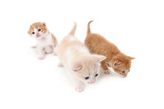 Three small fold kitten on white Stock Image