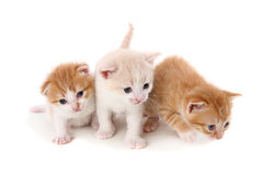 Three small fold kitten on white Stock Photography