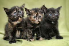 Three small funny kitten Royalty Free Stock Images