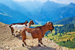 Three small goats Royalty Free Stock Photography