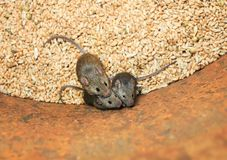 Three small gray rodents mouse sit in a barrel with a stock of wheat grains, spoil the harvest and look up scared. Small gray rodents mouse sit in a barrel with royalty free stock photography