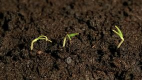 Three small green plants growing sprouting seedling from the ground, germination spring time lapse. Video stock video footage