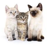 Three small kittens Stock Image