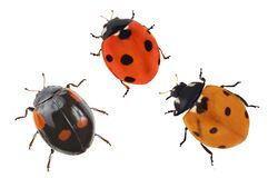 Three Small Ladybugs On White Stock Image