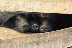 Three little black pigs in a pen. Three small little black baby pigs in a pen on a farm in rural Northern Thailand Royalty Free Stock Images
