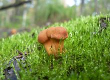 Three small mushrooms in the grass. royalty free stock photos