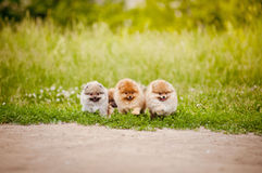 Three small Pomeranian puppies walking Royalty Free Stock Images
