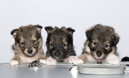 Three small puppies Stock Photos