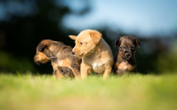 Three small puppies Stock Images